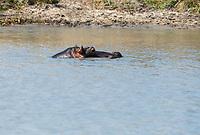 Hippopotamus, Hippopotamus amphibius, in a pond in Tarangire National Park, Tanzania