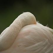 Flamingo hiding its head in its plumage.