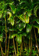 Inside the jungle in Costa Rica a tight group of palm fronds growing in the sun after a rain.