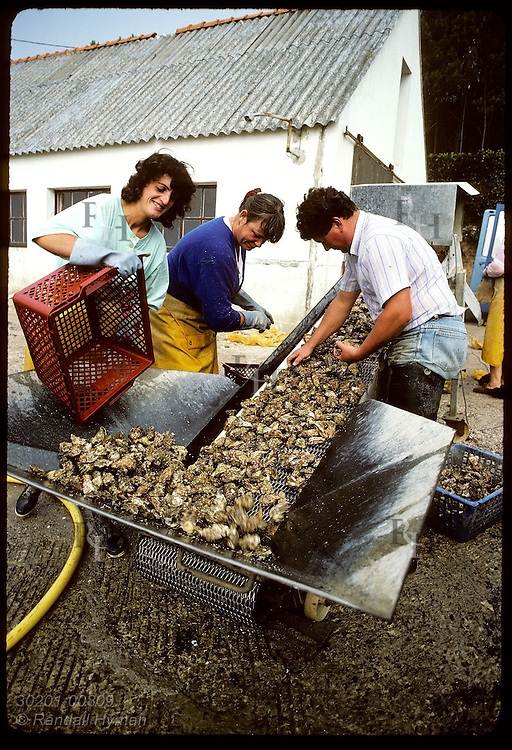 Family of Jean Le Guennec sorts Japanese oysters @ their process station (chantier); Crach River. France