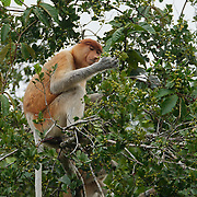 Proboscis monkey troop feeding on fruits high in the trees in Tanjung Puting National Park. Central Kalimantan region, Borneo.
