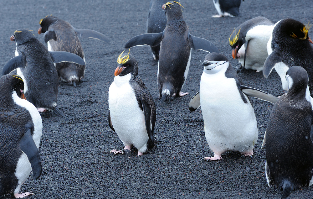Chinstrap Penguins (Pygoscelis antarctica) and  macaroni penguins (Eudyptes chrysolophus) stand on black volcanic sand in their nesting colony. Saunders Island, South Sandwich Islands. South Atlantic Ocean. 25Feb16