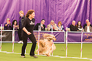 New York, NY - 8 February 2014. Reine weaving his way through the weave poles as spectators watch from the sidelines. The dogs must enter the weave poles to the right of the first pole.