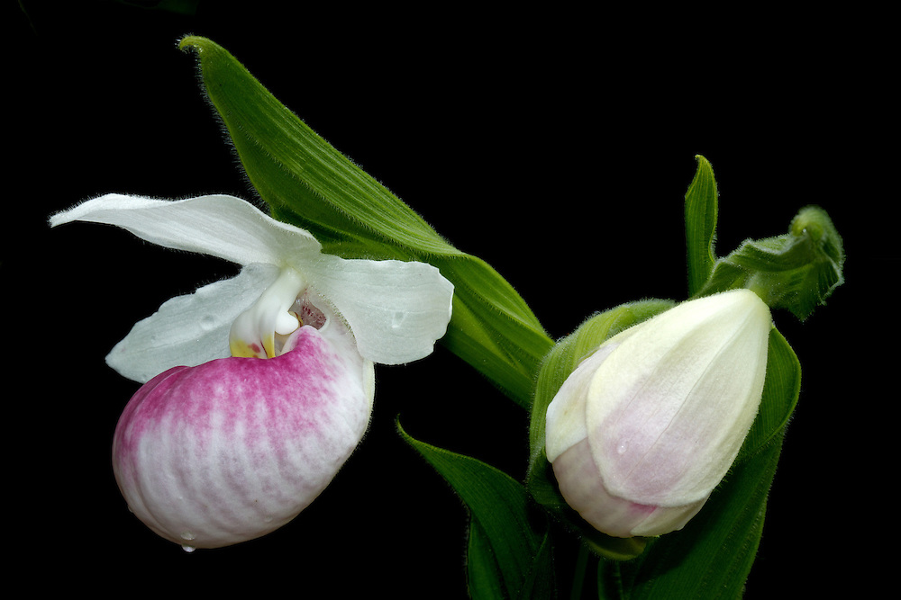"""Showy Lady Slipper wildflower photographed in the wild with a formal, black backdrop.<br /> <br /> 18"""" x 12"""" print <br /> 18"""" x 12"""" canvas <br /> <br /> See Pricing page for more information.<br /> <br /> Please contact me for custom sizes and print options including canvas wraps, metal prints, assorted paper options, etc. <br /> <br /> I enjoy working with buyers to help them with all their home and commercial wall art needs."""