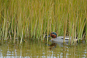 The Eurasian Teal or Common Teal is common in Iceland and is one of Europe´s smallest ducks.