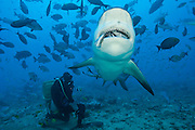 Scuba diver feeds a Bull Shark, Carcharhinus leucas, during a shark dive at the Shark Reef Marine Reserve offshore Pacific Harbor, Viti Levu, Fiji Islands.