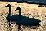 Whooper swan, Cygnus cygnus, pair floating, swimming on water, backlight by setting sun, silhouette, lake Kussharo-ko, Hokkaido Island, Japan, japanese, Asian, wilderness, wild, untamed, ornithology, snow, graceful, majestic, aquatic.