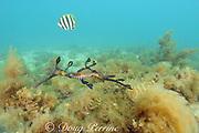 weedy seadragon, common seadragon, weedy sea dragon or common sea dragon, Phyllopteryx taeniolatus ( endemic ), Port Phillip Bay, Victoria, Australia ( Tasman Sea / South Pacific Ocean )
