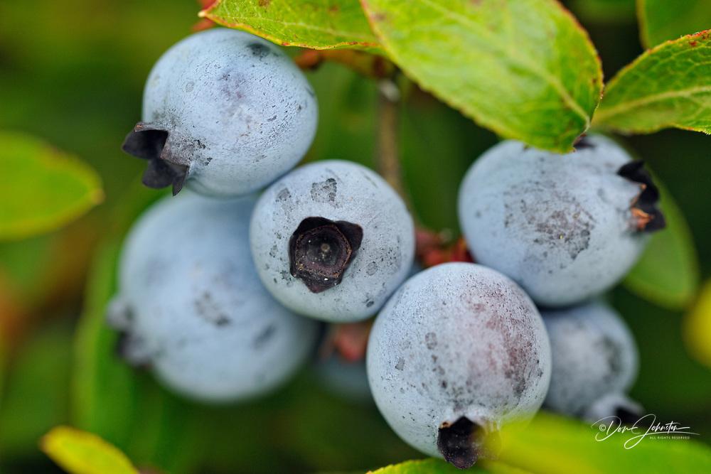 Lowbush blueberry (Vaccinium augustifolium) Ripe berries in a bumper crop, Greater Sudbury (Lively), Ontario, Canada