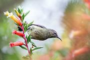 Sunbird from Nyungwe, Rwanda | Solfugl fra Nyungwe, Rwanda.