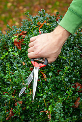 Clipping a box hedge with Japanese topiary clippers - Buxus sempervirens
