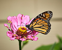 Monarch Butterfly Feeding on a Pink Zinnia Flower. Image taken with a Fuji X-H1 camera and 80 mm f/2.8 OIS macro lens (ISO 200, 80 mm, f/5.6, 1/850 sec).