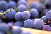 Close up selective focus photograph of Concord Grapes on the vine