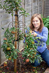 Picking apples from a tree that has been bent and trained downwards to encourage better fruiting