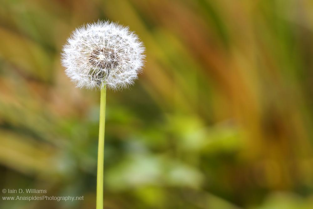 Dandelion - Tasmania