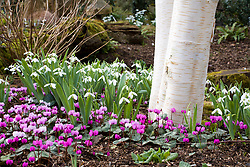 Cyclamen coum and snowdrops growing at the base of a silver birch  tree. Betula utilis var. jacquemontii, Galanthus nivalis