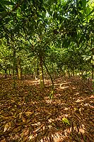 Cocoa Farm, Near Aburi (one of the first cocoa farms in Africa)