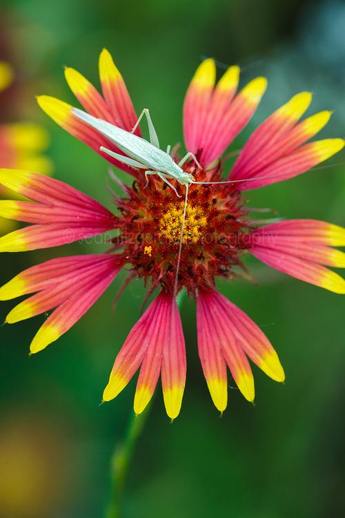 Katydid on firewheel wildflower (Gaillardia pulchella), Big Spring historical and natural area, Great Trinity Forest, Dallas, Texas, USA