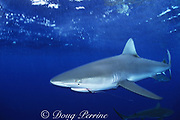 Galapagos shark, Carcharhinus galapagensis, with copepod parasites around eye and fish hook in mouth; North Shore, Oahu, Hawaii, USA ( Central Pacific Ocean )