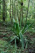 View of Rainforest, Pandanus utilis, Mantadia National Park, Andasibe, Madagascar