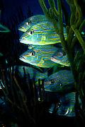 UNDERWATER MARINE LIFE CARIBBEAN, Roatan, Honduras FISH; Bluestriped grunt Haemulon sciurus