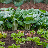 Bok Choy and Lettuce in a garden