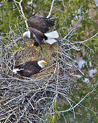 Eagles Nest, nesting Bald Eagles, squawking, high above the Snake River, Idaho