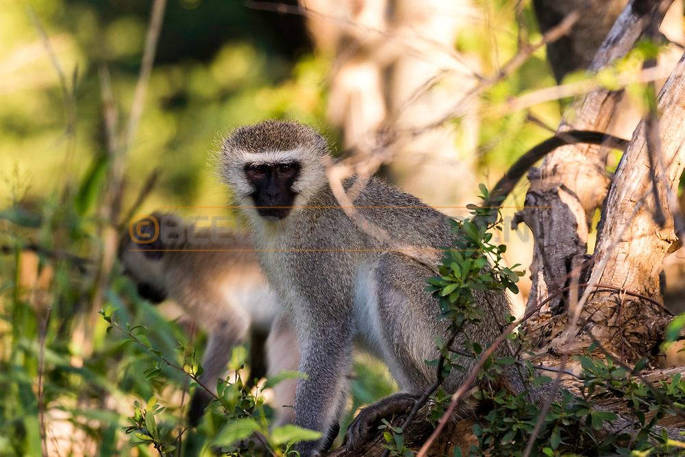 12-02-2016 -  Foto safari: Dinokeng Game Reserve: Vervet apen. Genomen tijdens Safari bij Mongena Game Lodge in Dinokeng Game Reserve in Hammanskraal, Zuid-Afrika.