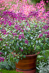 Salvia 'Love and Wishes' = 'Serendip6' in a glazed container