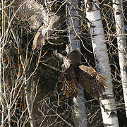 Two great gray owls come together in an aggressive display of behavior during breeding season. Sax-Zim Bog, Minnesota