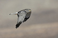Northern Harrier - Circus cyaneus - adult male