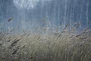 Common reed (Phragmites australis) in swinter snowfall, near Riga, Latvia Ⓒ Davis Ulands   davisulands.com