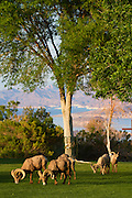 Desert Bighorn with Lake Mead National Recreation Area in the background, Boulder City, near Las Vegas, Nevada.