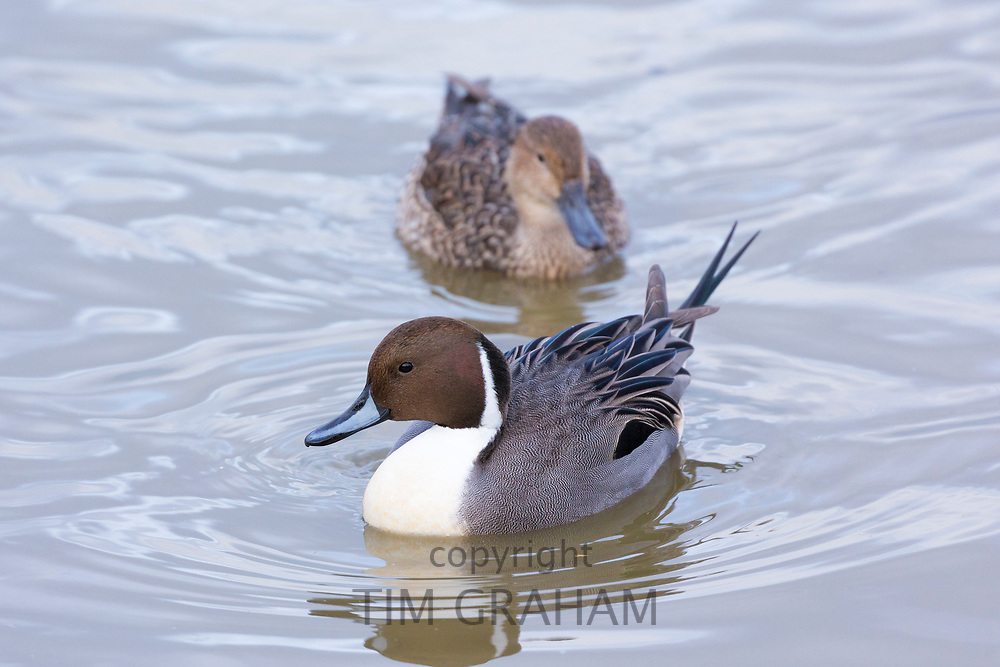 Male Pintail duck - Anas acuta - and female behind on the lake Slimbridge Wildfowl and Wetlands Centre, England, UK
