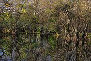 Bald cypress swamp Corkscrew Swamp Sanctuary near Naples, Florida, USA