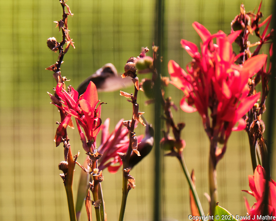 Pair of female Ruby-throated Hummingbirds having a dispute. Out of focus, behind Canna flowers. Image taken with a Fuji X-T4  camera and 100-400 mm OIS lens.