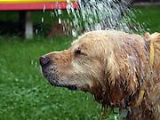 Golden Retriever Lemmy erhält bei tropischen Temperaturen ein Abkühlung mit der Gießkanne. Der Golden Retriever ist ein intelligenter, freudig arbeitender Hund, dem auch extreme, nasskalte Witterungsbedingungen nichts ausmachen. Dem steht allerdings eine relativ starke Empfindlichkeit hinsichtlich hoher Temperaturen gegenüber. Grundsätzlich ist die Rasse ruhig, geduldig, aufmerksam und niemals aggressiv.<br /> <br /> Golden Retriever Lemmy getting a shower during a day with tropical temperatures.