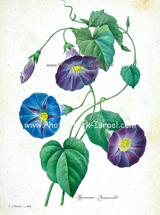 19th-century hand painted Engraving illustration of Ipomoea quamoclit (cypress vine, cypressvine morning glory, cardinal creeper, cardinal vine, star glory or hummingbird vine) flowers, by Pierre-Joseph Redoute. Published in Choix Des Plus Belles Fleurs, Paris (1827). by Redouté, Pierre Joseph, 1759-1840.; Chapuis, Jean Baptiste.; Ernest Panckoucke.; Langois, Dr.; Bessin, R.; Victor, fl. ca. 1820-1850.