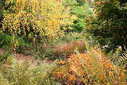 Cercidiphyllum japonicum f. pendulum with Fothergilla major in the foreground at Glebe Cottage. Pendulous katsura