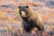 Inland Grizzly bear in autumn habitat