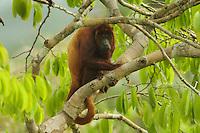 Red Howler Monkey (Alouatta seniculus) near the canopy tower at the Tiputini Biodiversity Station, Orellana Province, Ecuador