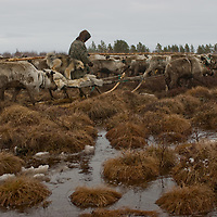 With his dog aboard his sled, north of the Arctic Circle in Russia, Vasily Terentév, a nomadic Komi reindeer herder,  navigates between frozen tundra hummocks as he pushes the herd closer to areas where they want the cows to calve.