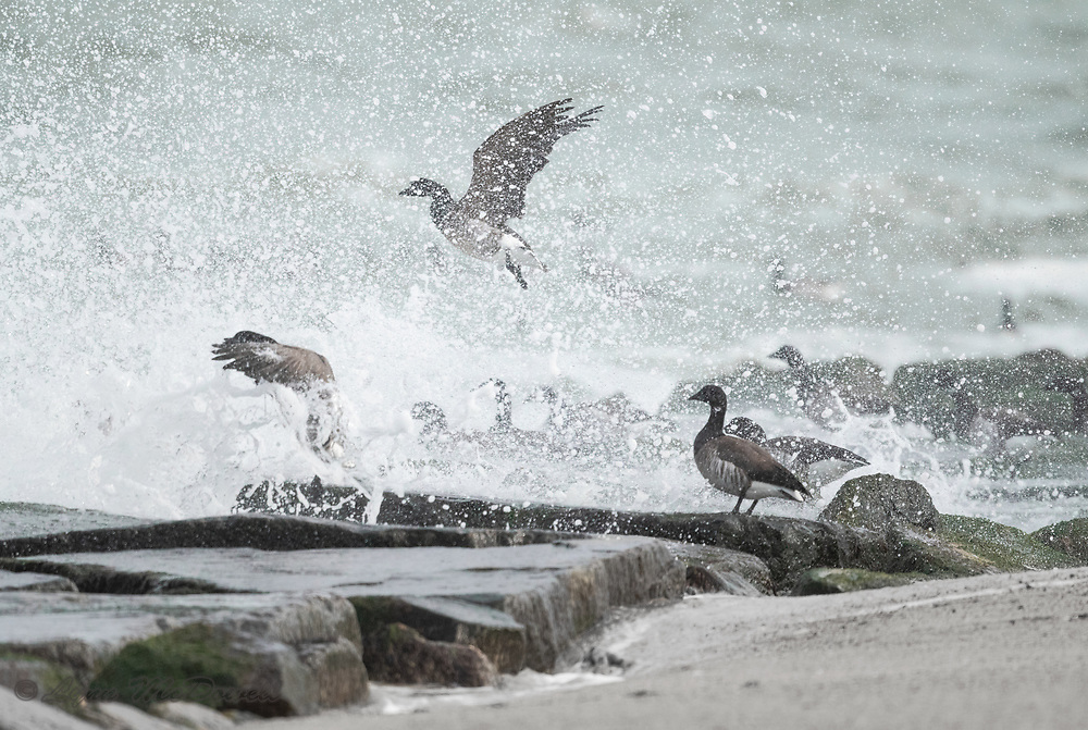 Brandt feeding on the jetty at Indian River Inlet as the cold winter waves crashed over the flock.