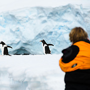 A woman takes photos of a trio of Gentoo penguins waddling by on a narrow ice shelf on the shoreline of Cuverville Island on the Antarctic Peninsula.