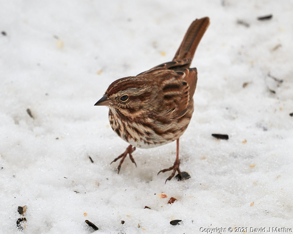 Song Sparrow (Melospiza melodia). Image taken with a Leica SL2 camera and Sigma 100-400 mm lens.