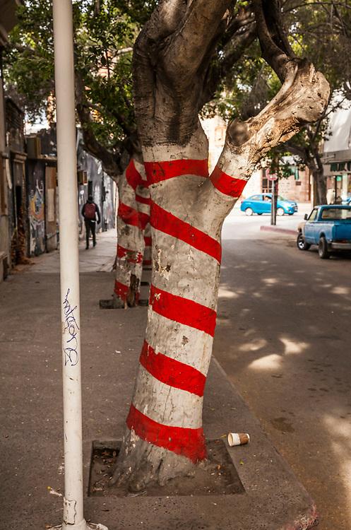 Striped trees along a city street, La Paz, BCS, Mexico.