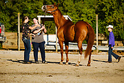 16 JULY 2020 - BOONE, IOWA: A woman works a horse on the first day of the Boone County Fair in Boone. Summer is county fair season in Iowa. Most of Iowa's 99 counties host their county fairs before the Iowa State Fair. In 2020, because of the COVID-19 (Coronavirus) pandemic, many county fairs were cancelled, and most of the other county fairs were scaled back to concentrate on 4H livestock judging. Boone county scaled back its fair this year. The Iowa State Fair was cancelled completely.             PHOTO BY JACK KURTZ