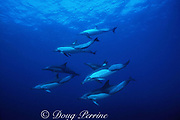 long-beaked common dolphins, Delphinus capensis, run up east coast of South Africa during Sardine Run