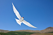 Black-fronted Tern Pictures - Photos