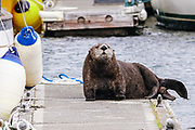 A pregnant northern sea otter rests on a boat dock at the City of Homer Port & Harbor marina on Kamishak Bay in Homer, Alaska. A northern sea otter floats along on Kamishak Bay at the City of Homer Port & Harbor marina in Homer, Alaska.